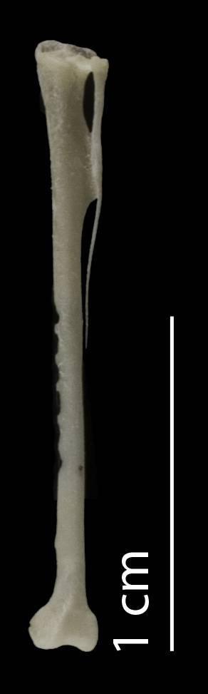 Image of Broad-billed Tody