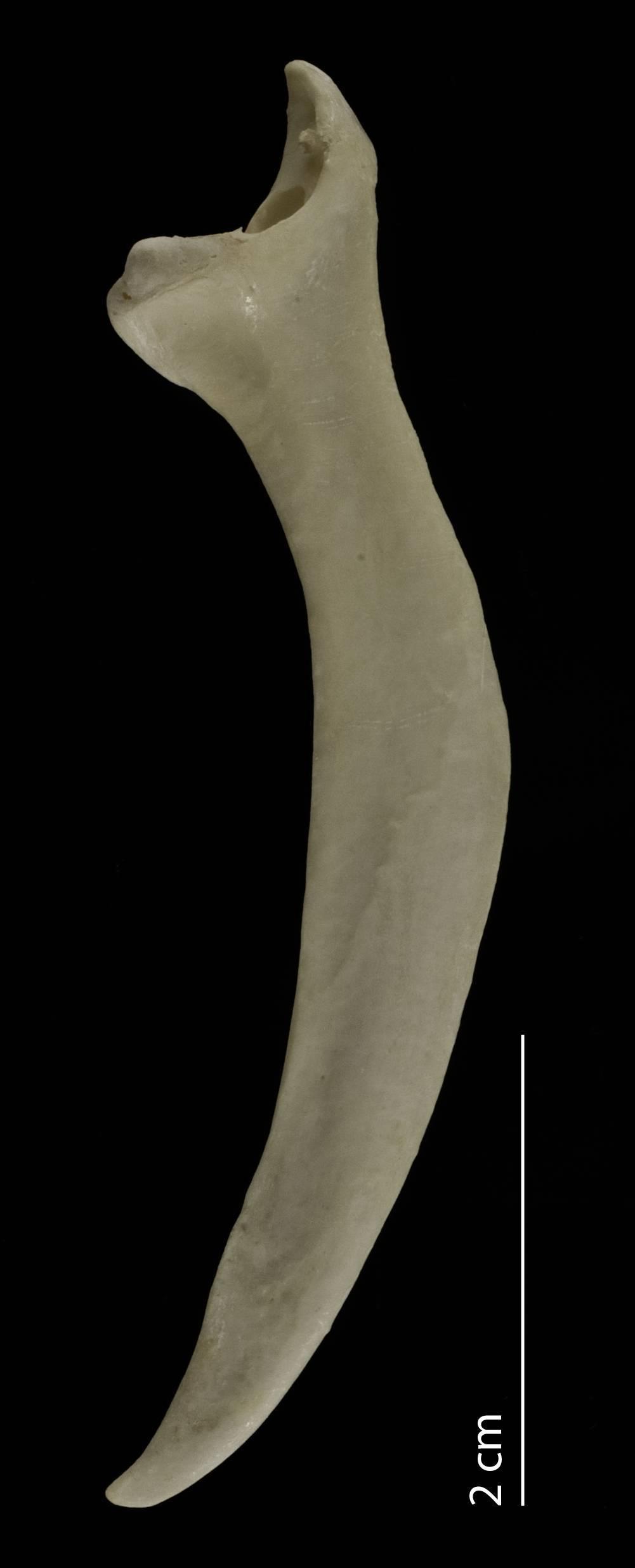 Image of Hoatzin