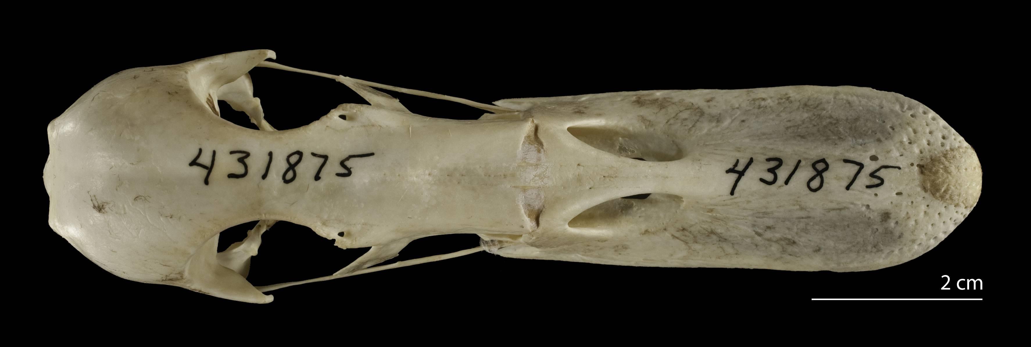 Image of <i>Anas <i>platyrhynchos</i></i> platyrhynchos Linnaeus 1758