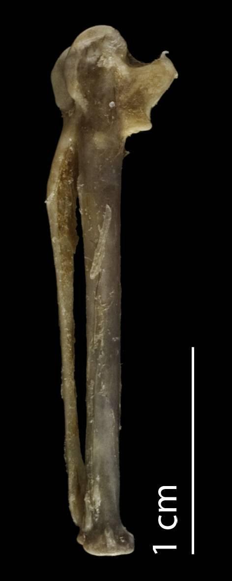 Image of <i>Thinocorus orbignyianus ingae</i> Tschudi 1843