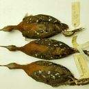 Image of Grey-throated Rail