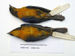 Image of <i>Anisognathus lacrymosus palpebrosus</i> (Lafresnaye 1847)