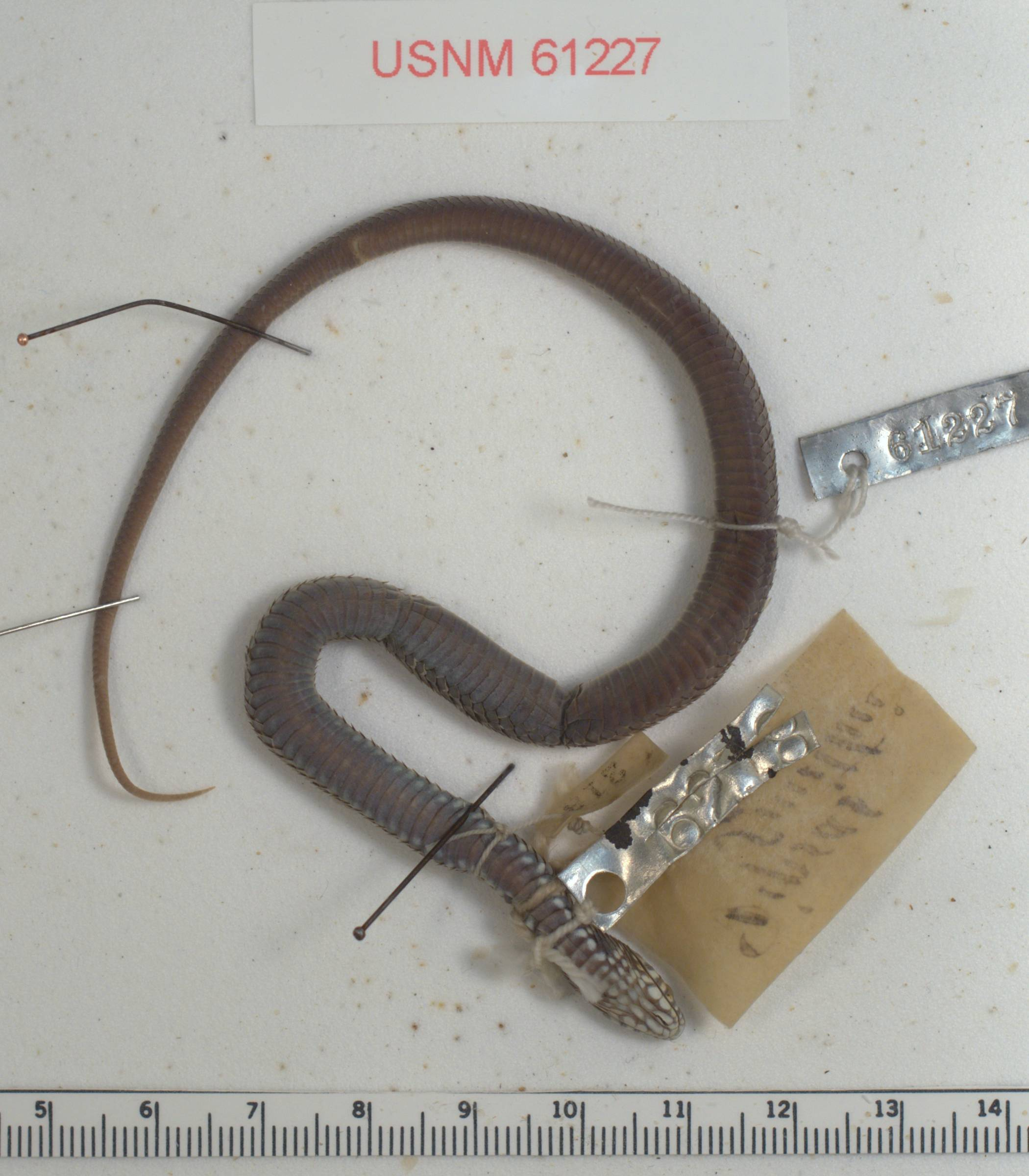 Image of Cape Reed Snake