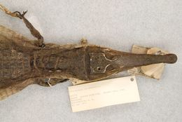Image of African slender-snouted crocodile