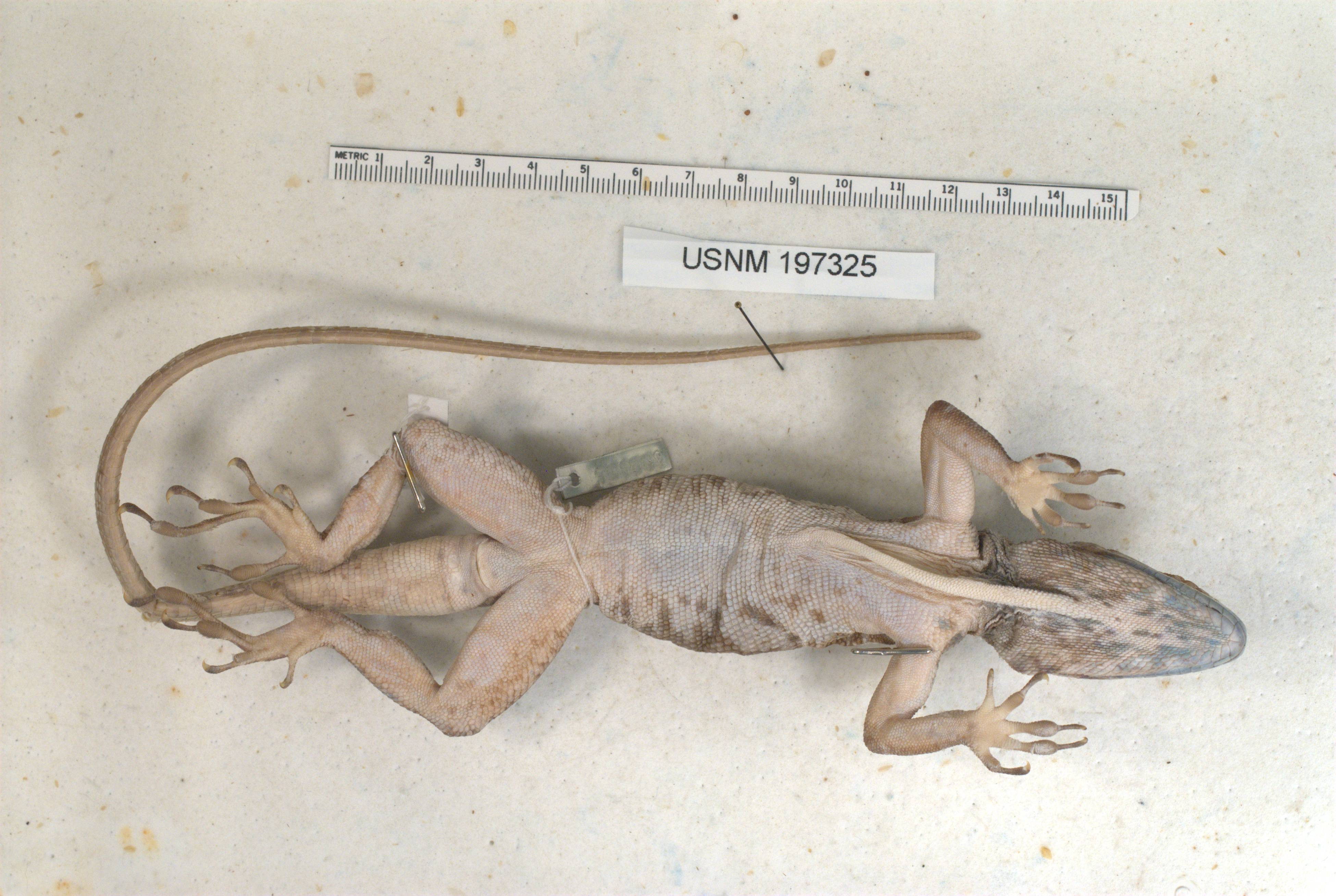 Image of <i>Anolis baleatus lineatacervix</i> Schwartz 1978