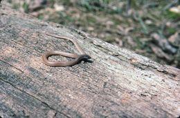 Image of Flathead Snake