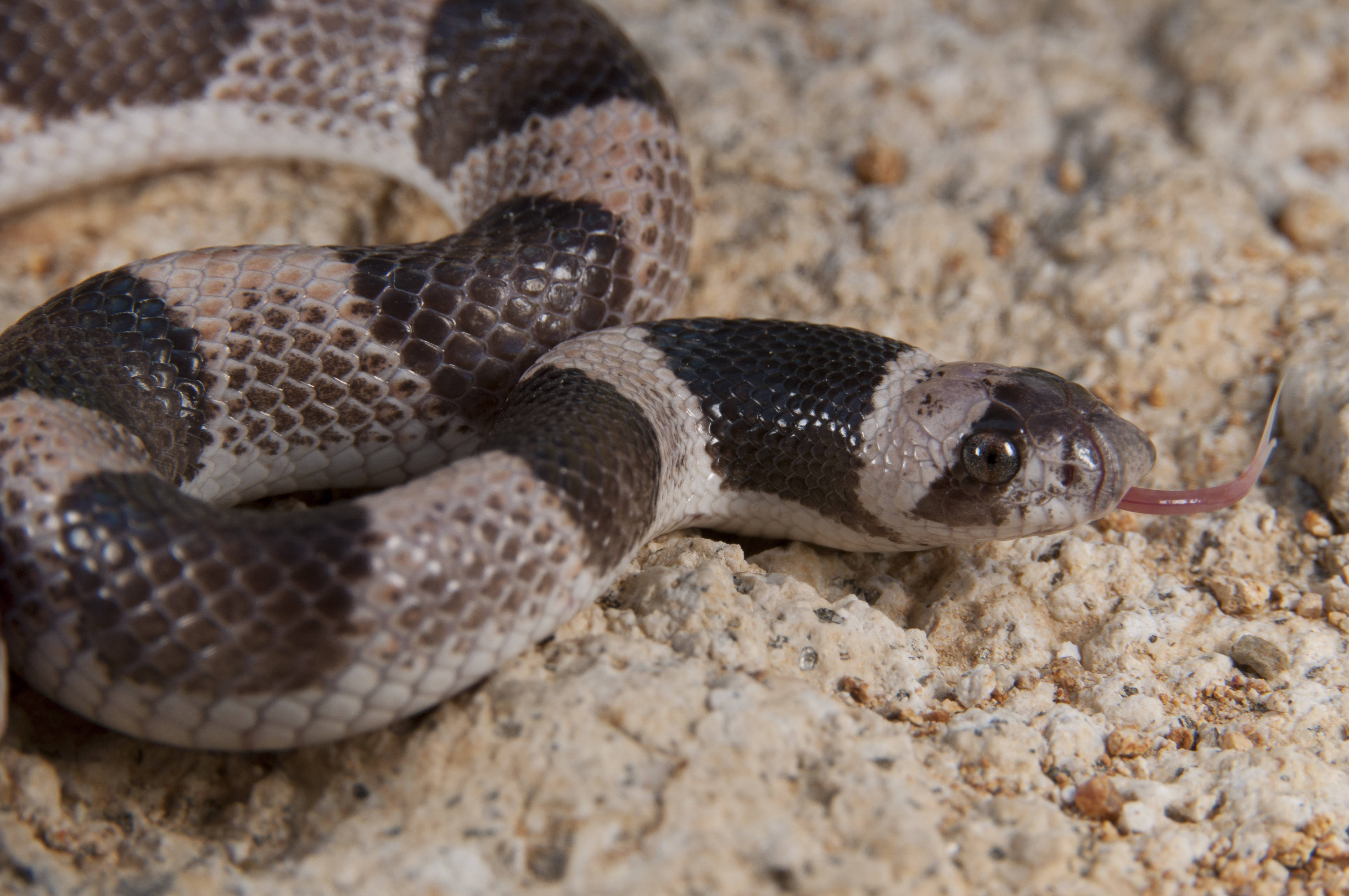 Image of Saddled Leafnose Snake