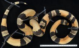 Image of <i>Lampropeltis triangulum</i> ssp. <i>micropholis</i> (Cope 1860)