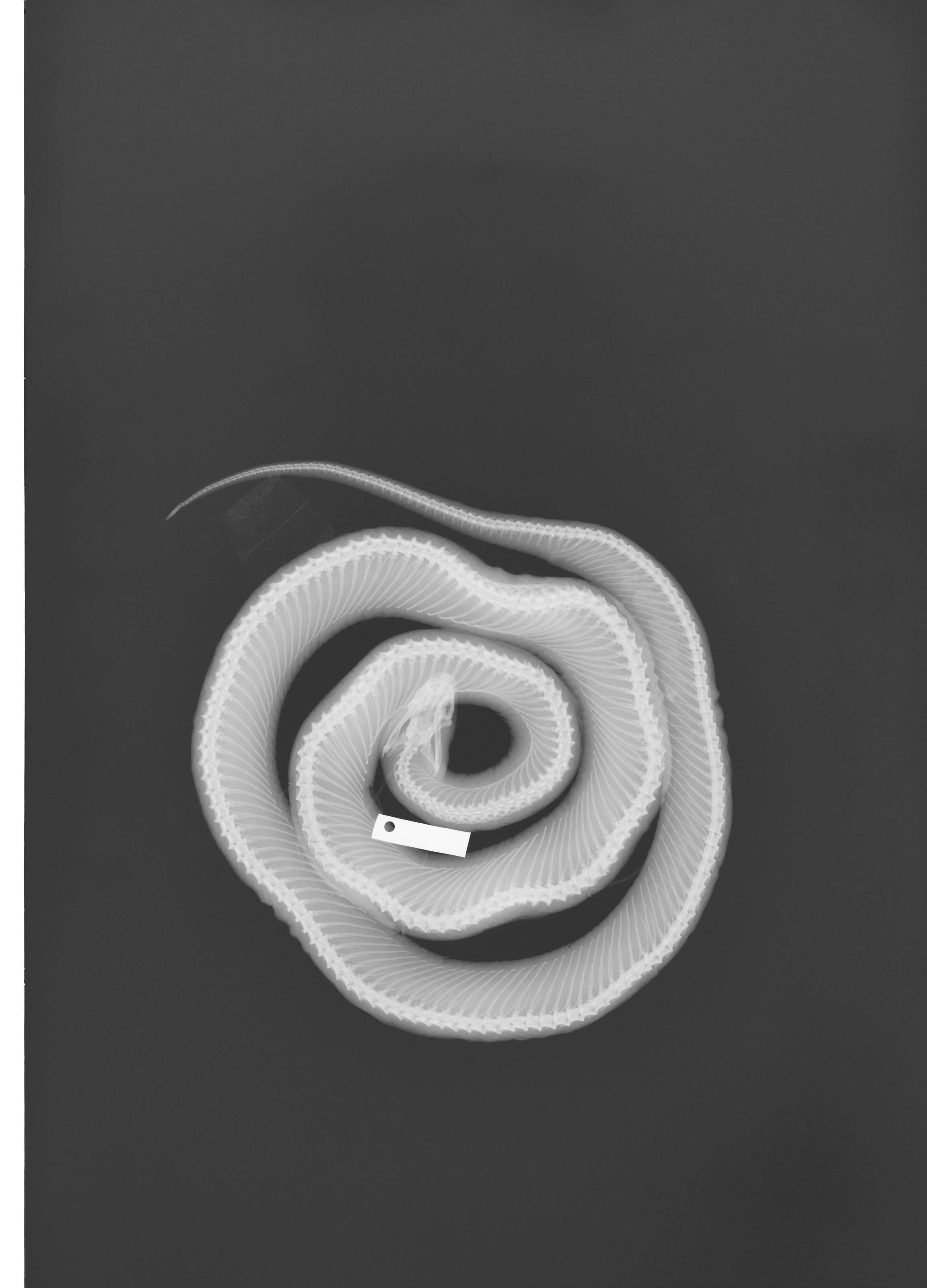 Image of <i>Lampropeltis getula</i> ssp. <i>floridana</i> Blanchard 1919
