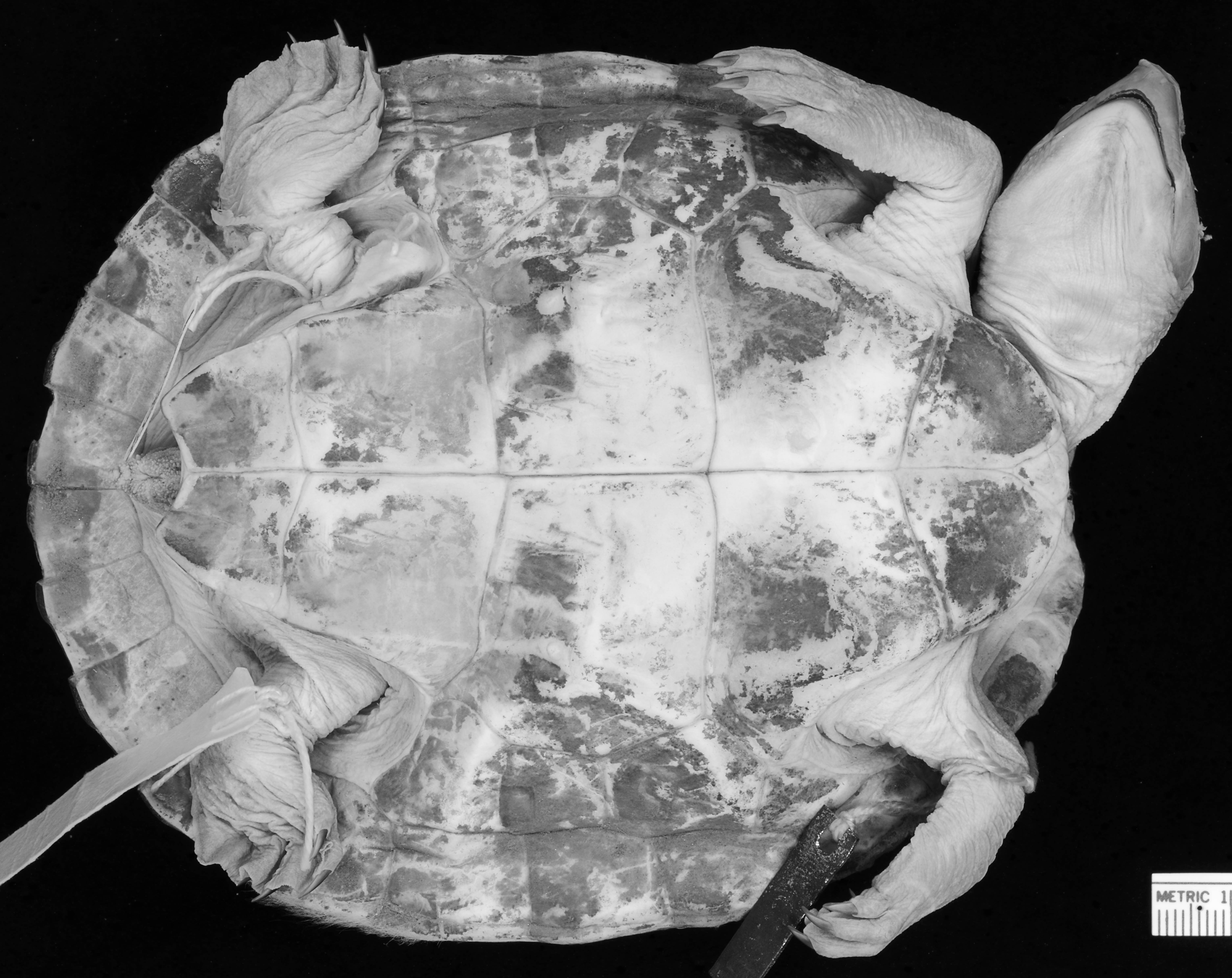 Image of Central American River Turtle