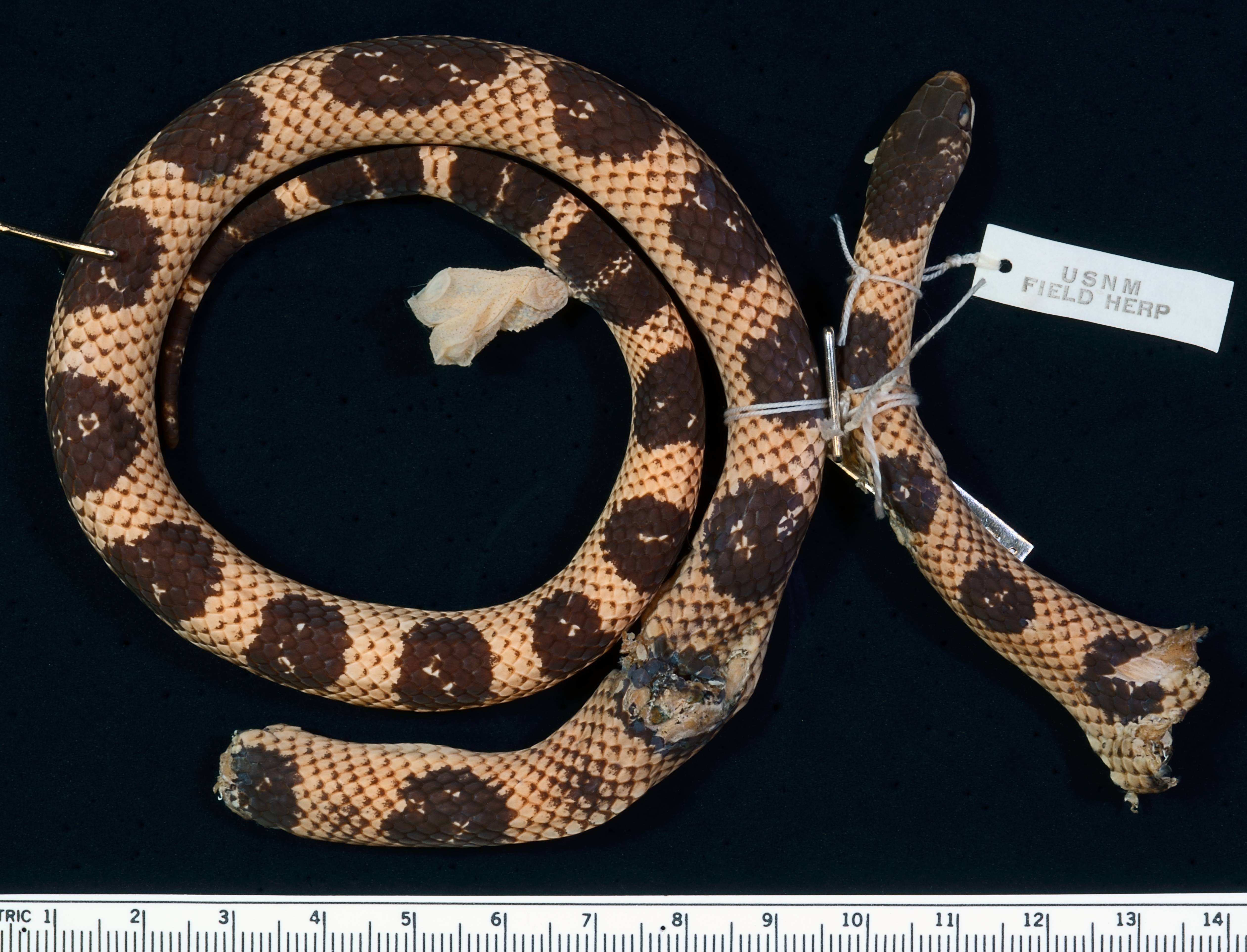 Image of Red Snake