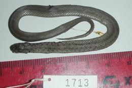 Image of Brown Snake