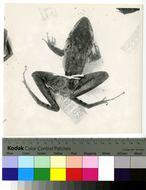 Image of Hensel's Swamp Frog