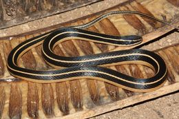 Image of Cope's Black-striped Snake