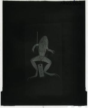Image of <i>Leptodactylus poecilochilus</i> (Cope 1862)