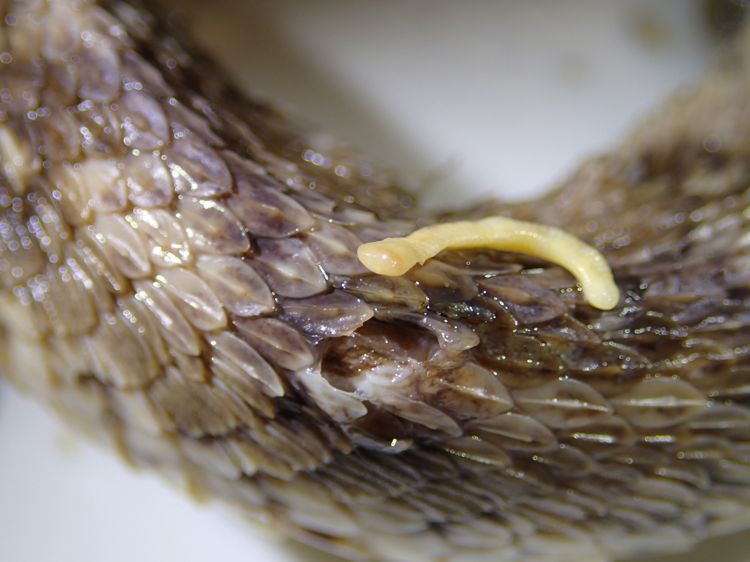 Image of African Saw-scaled Viper