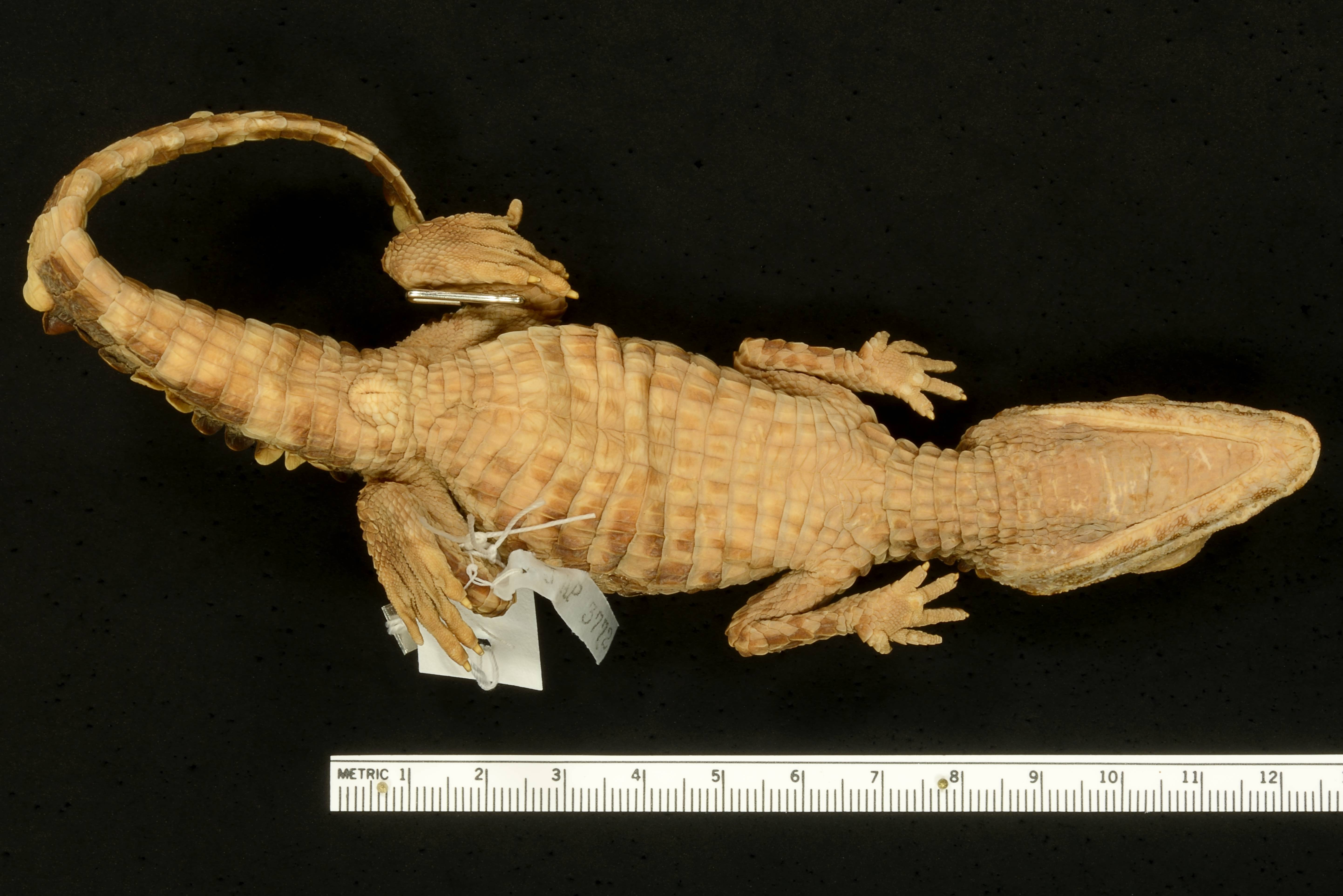 Image of Cuvier's Smooth-fronted Caiman