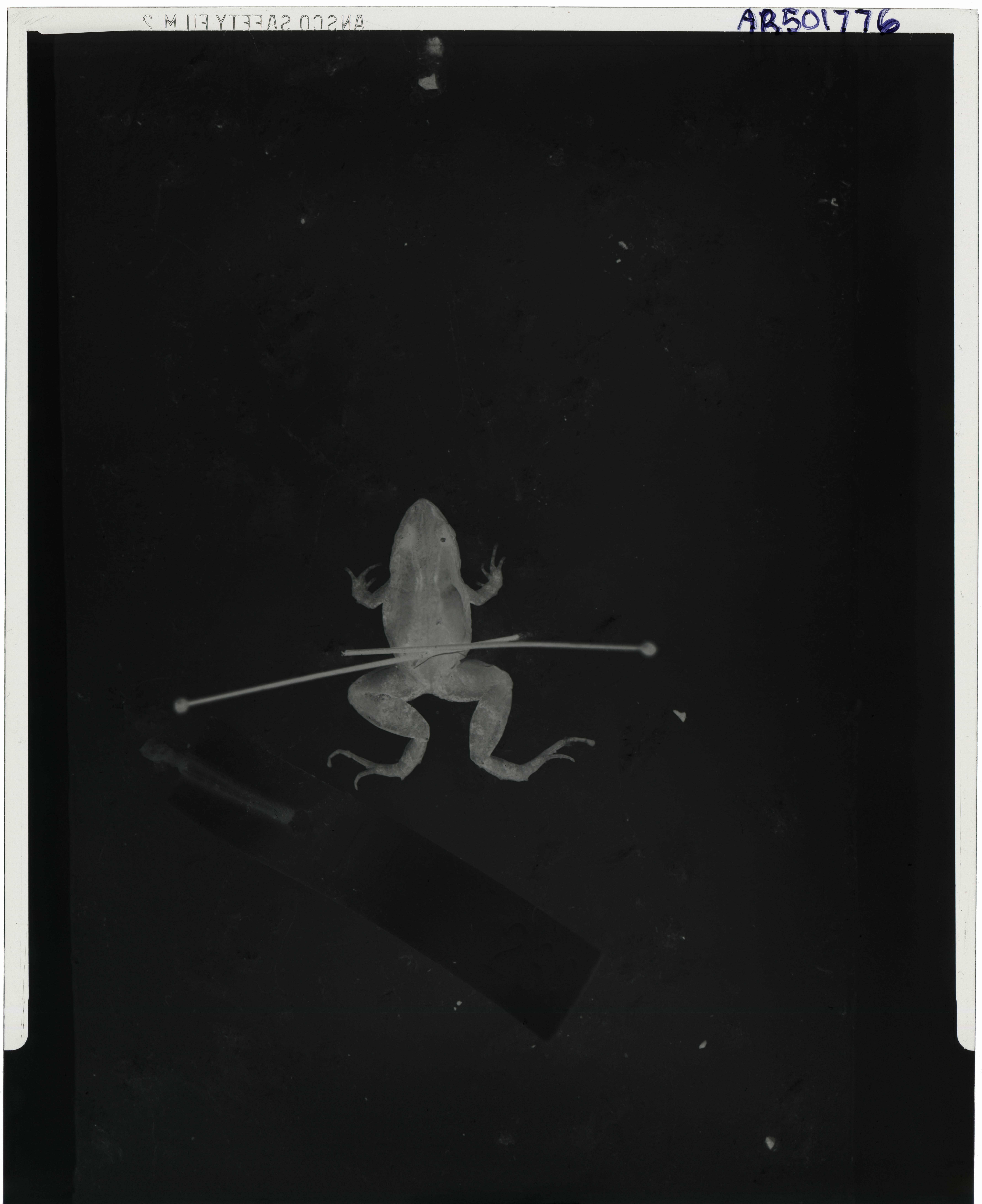 Image of <i>Pseudopaludicola boliviana</i> Parker 1927