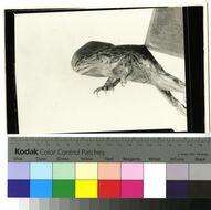 Image of High Himalaya Frog