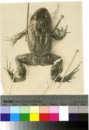 Image of Caribbean white-lipped frog