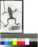 Image of <i>Dendrophryniscus brevipollicatus</i> Jiménez de la Espada 1870