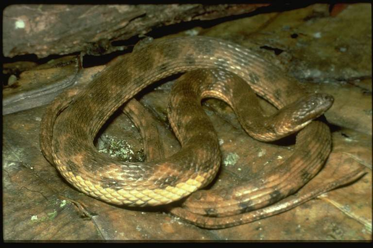 Image of Shreve's Keelback