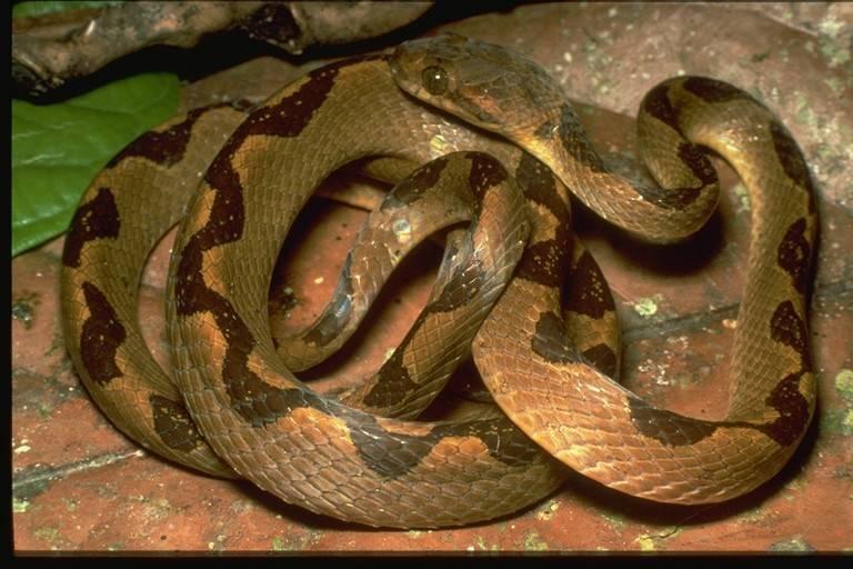 Image of Banded Cat-eyed Snake