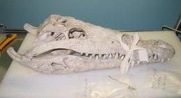 Image of American Crocodile