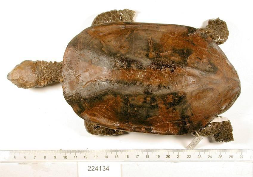 Image of Black-backed Twist-necked Turtle