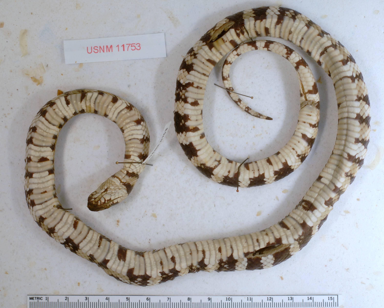 Image of <i>Lampropeltis zonata</i> ssp. <i>multicincta</i> (Yarrow 1882)