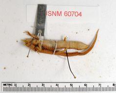 Image of <i>Proctoporus guentheri</i> (Boettger 1891)