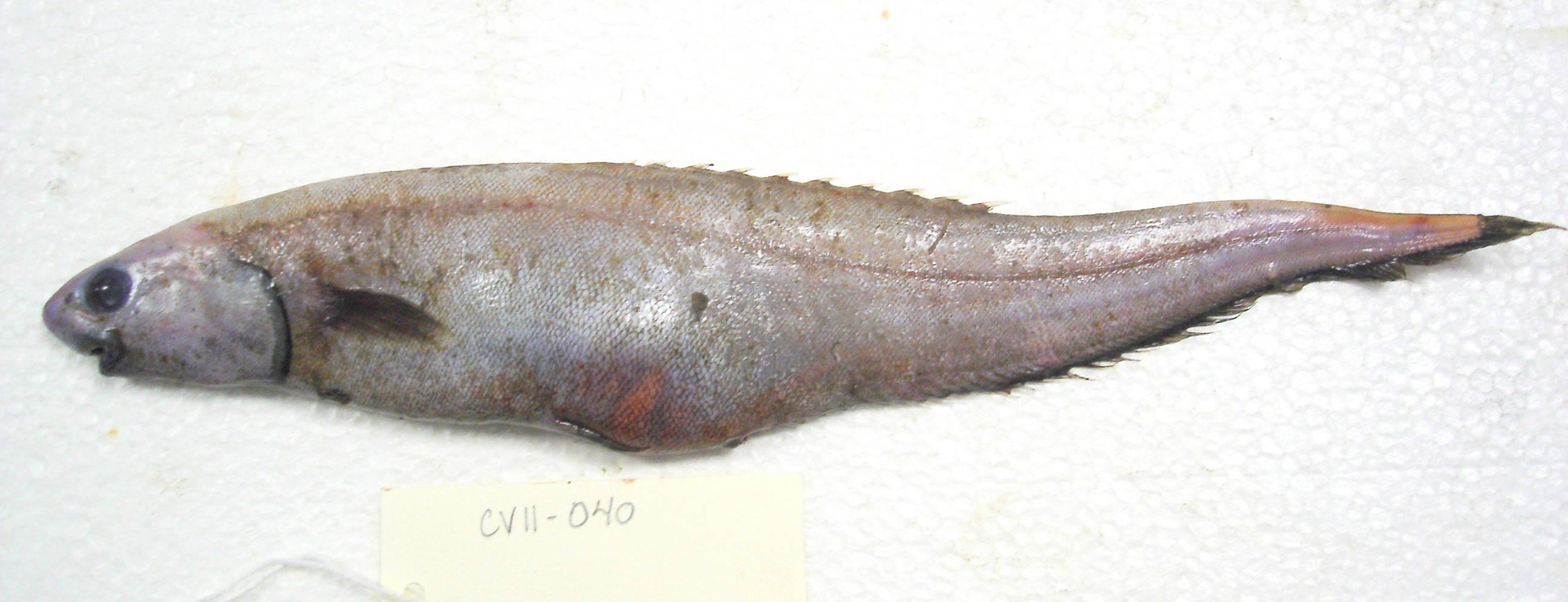 Image of Notacanthus bonaparte