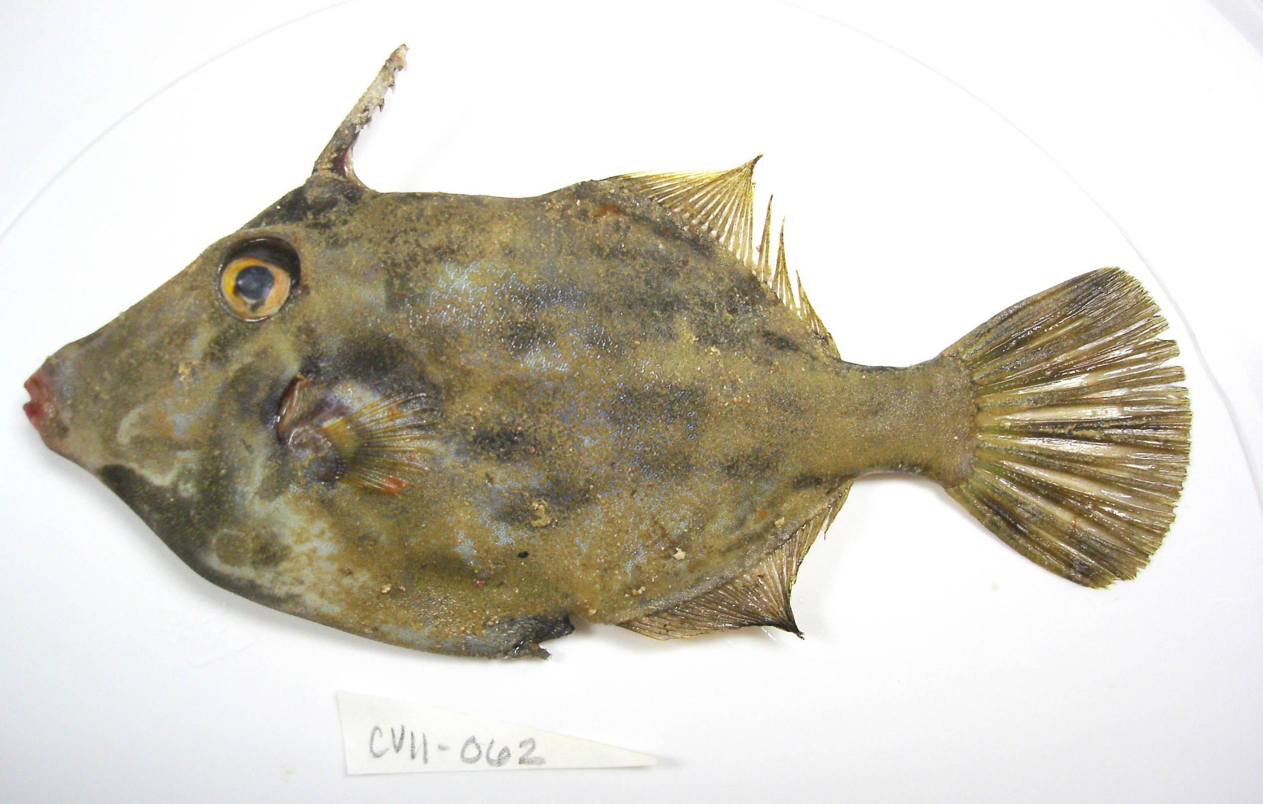 Image of Planehead Filefish