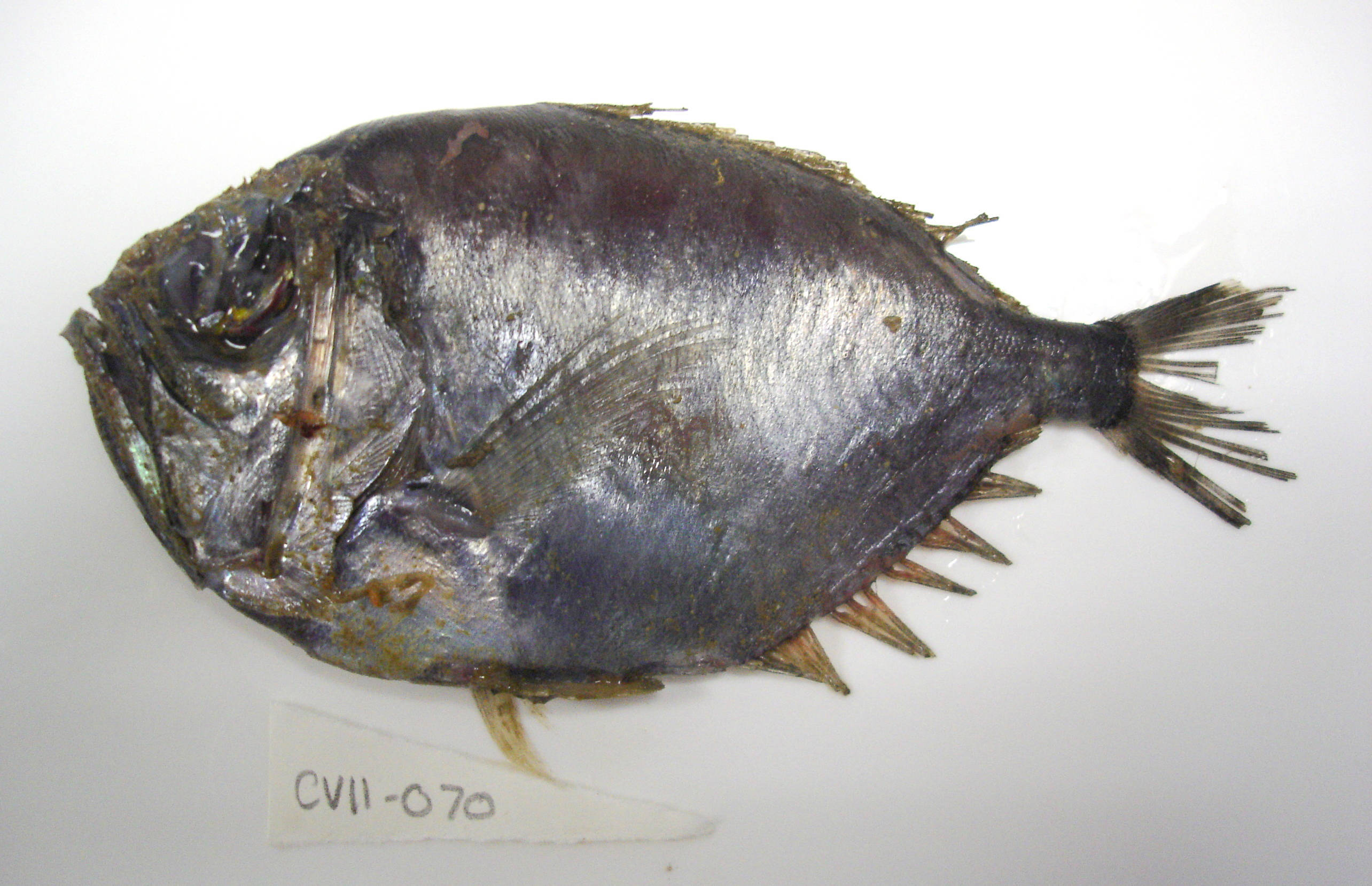 Image of Large spinyfin