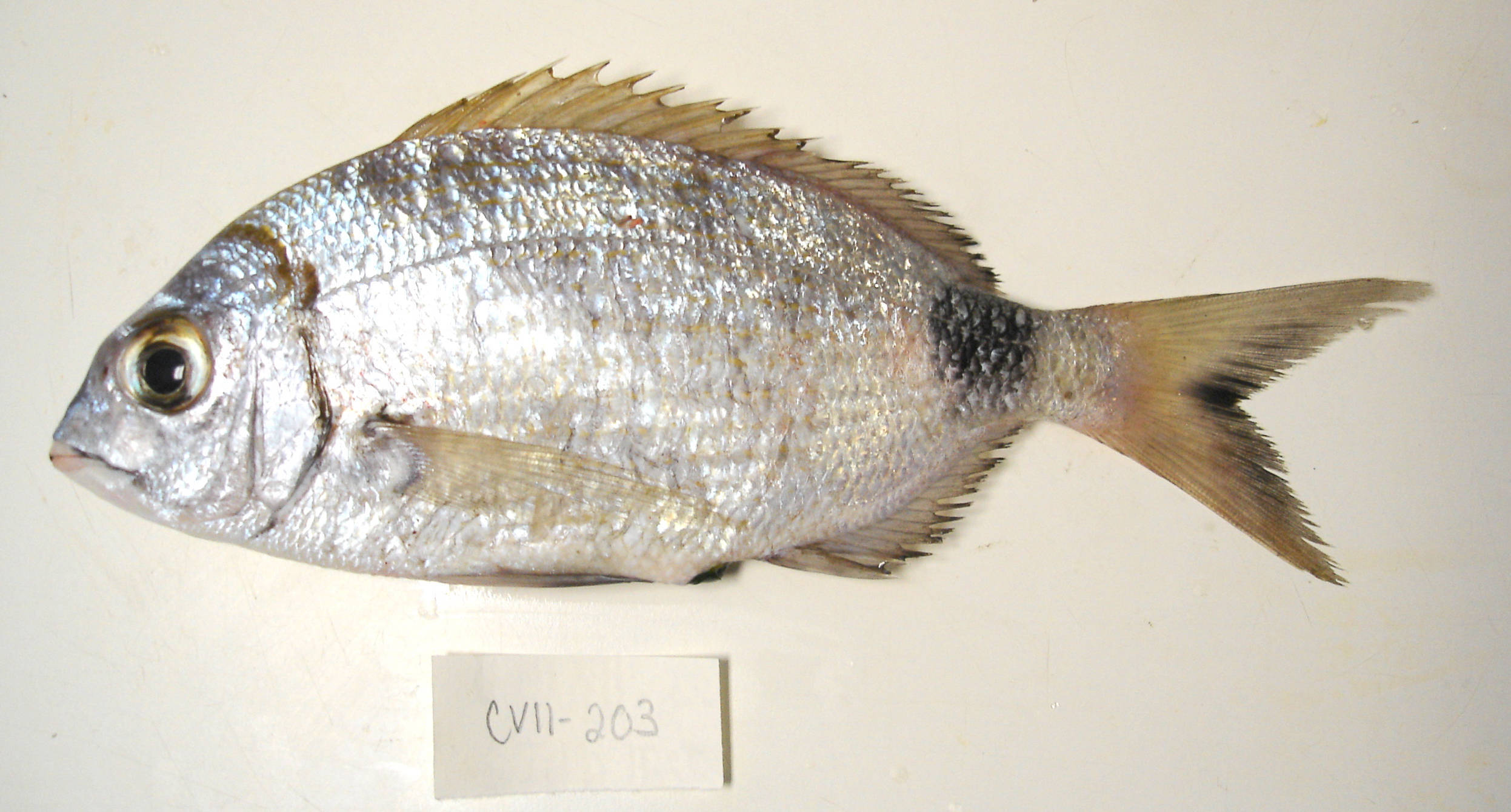 Image of Common two-banded sb