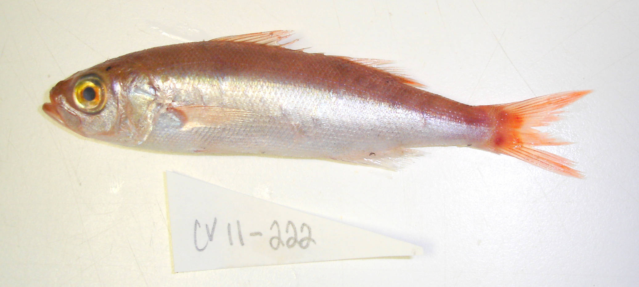 Image of Atlantic rubyfish
