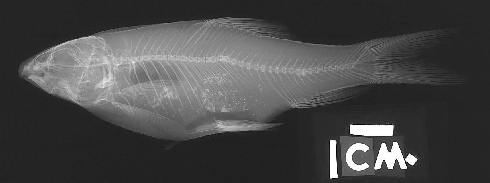 Image of <i>Acrossocheilus parallens</i> (Nichols 1931)