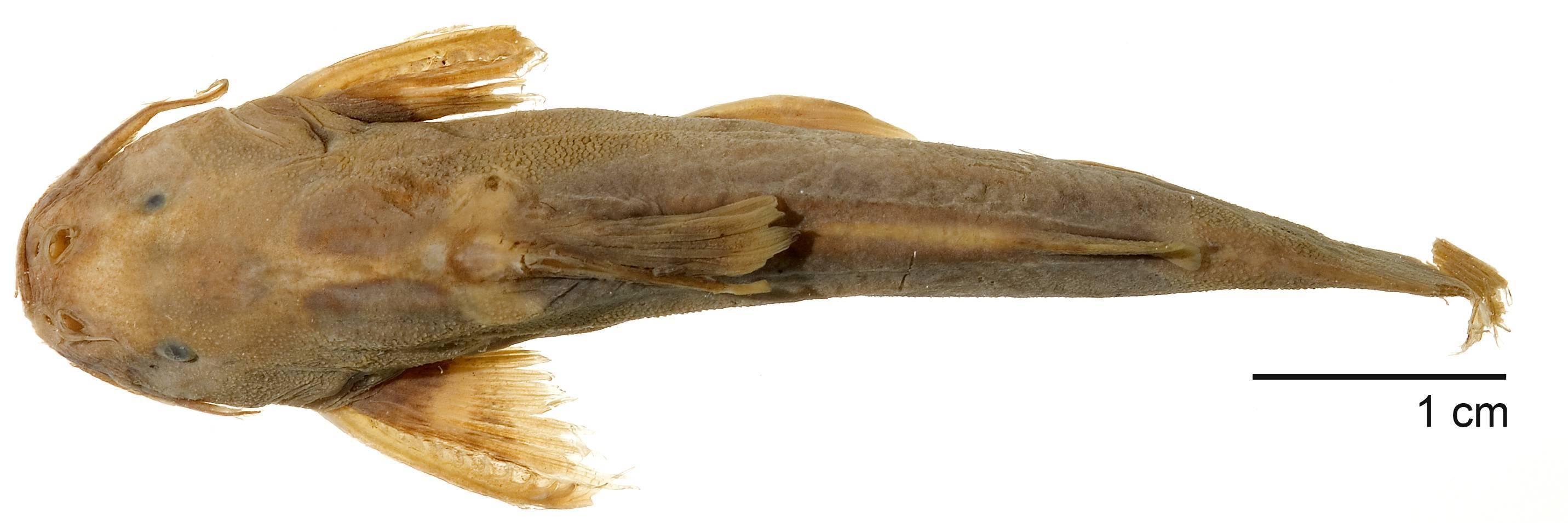 Image of <i>Glyptothorax buchanani</i> Smith 1945