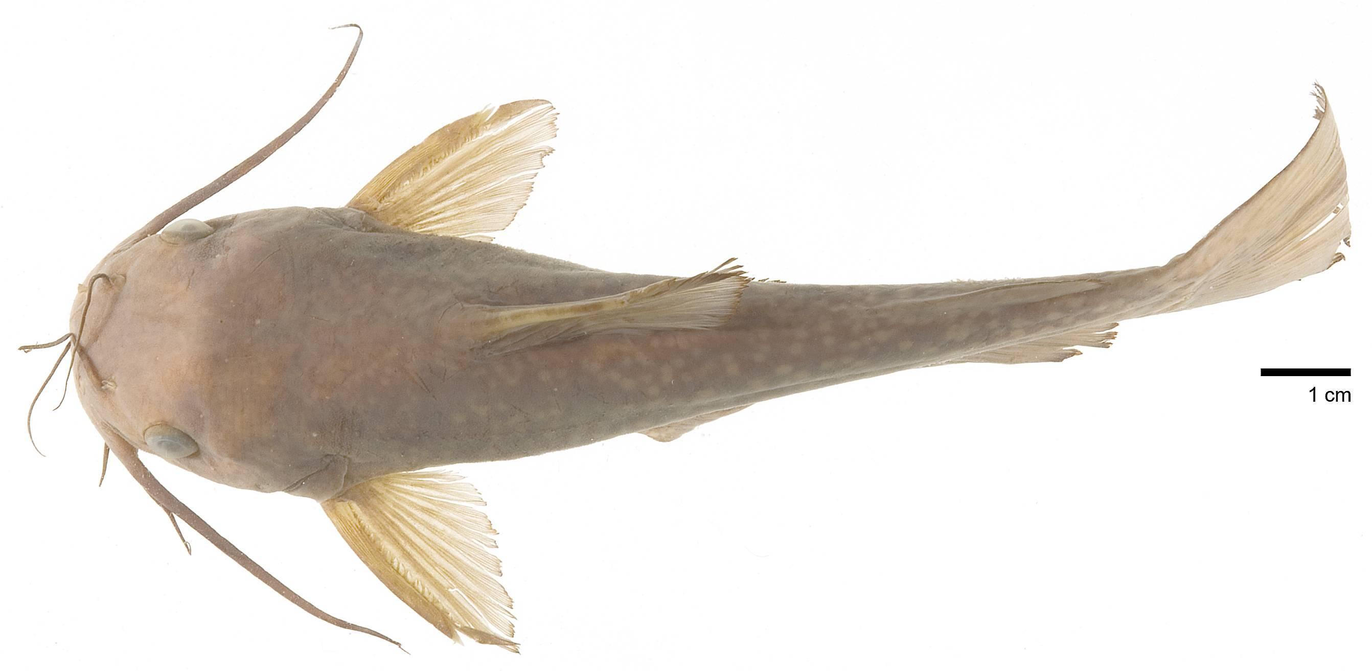 Image of <i>Ictalurus serracanthus</i> Yerger & Relyea