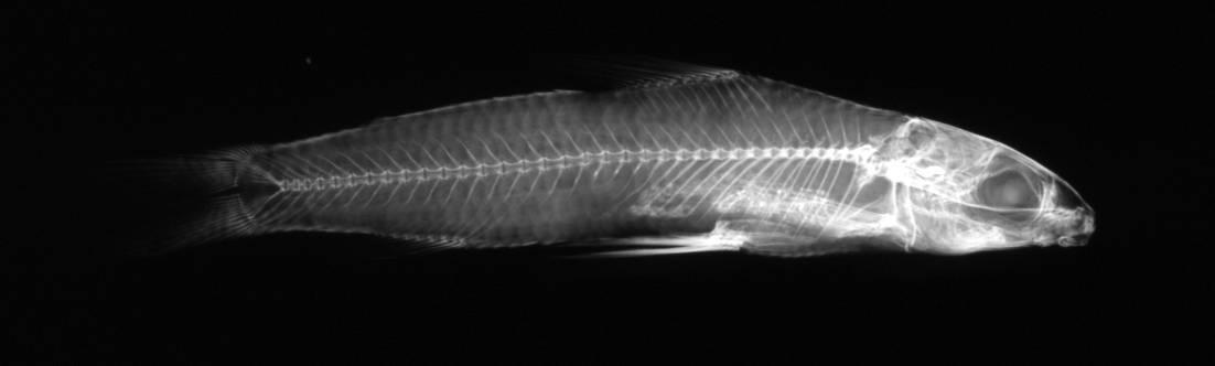 Image of <i>Nannocharax seyboldi</i>