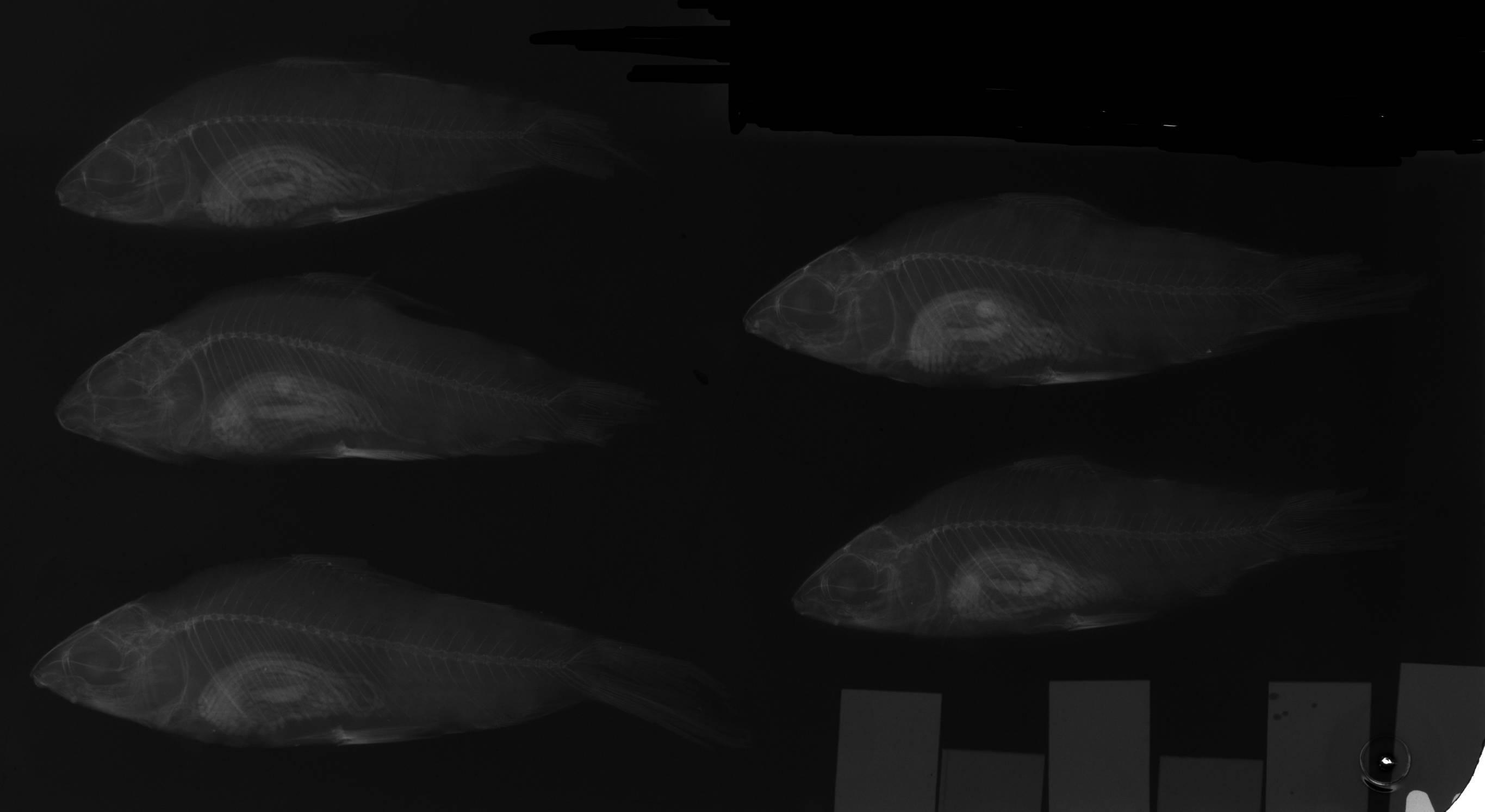 Image of <i>Steindachnerina elegans</i> (Steindachner 1875)
