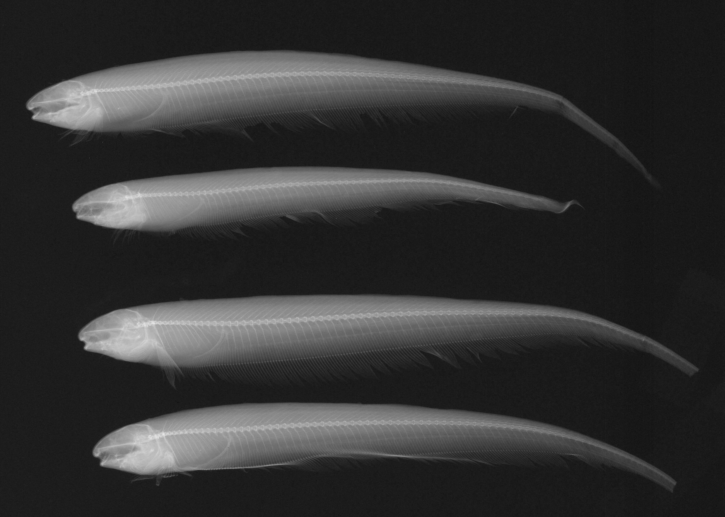 Image of <i>Sternarchella orinoco</i>