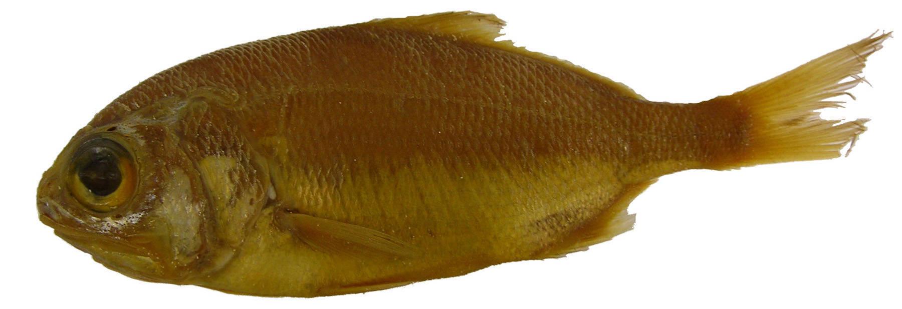 Image of Barbudo