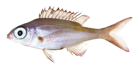 Image of Glowfish