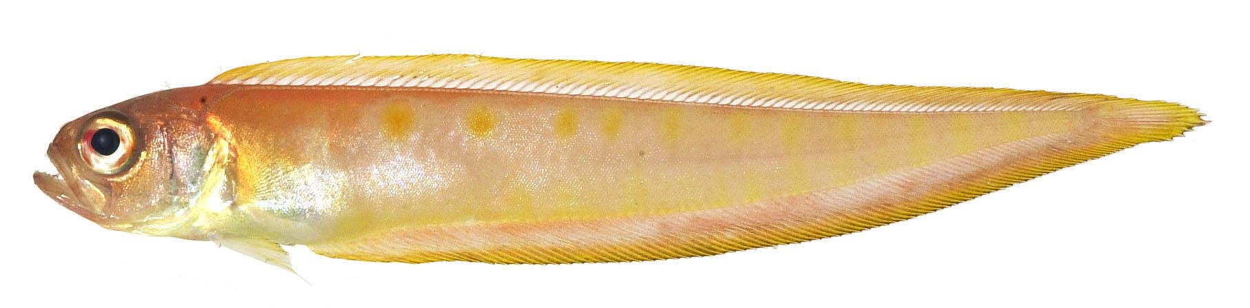Image of Cepola