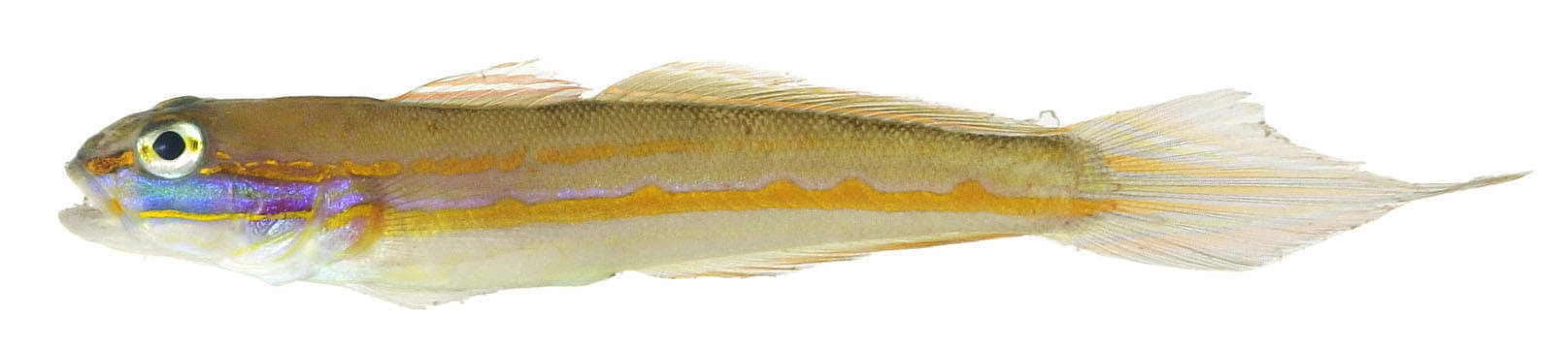 Image of Sleeper Gobies
