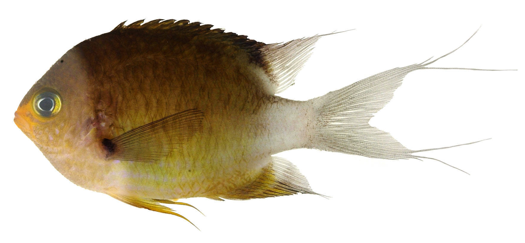 Image of Ovate chromis