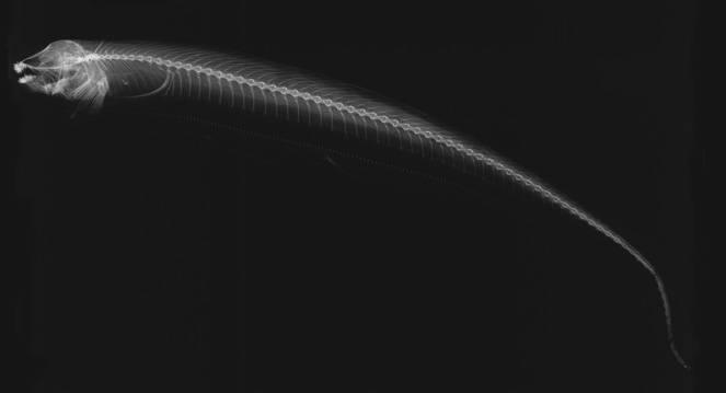 Image of <i>Sternarchogiton nattereri</i> (Steindachner 1868)