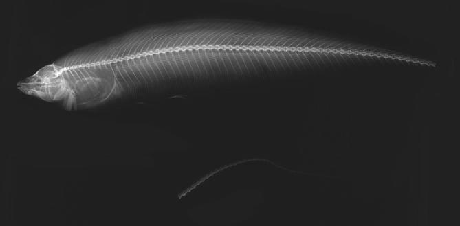 Image of <i>Eigenmannia conirostris</i> Eigenmann & Allen