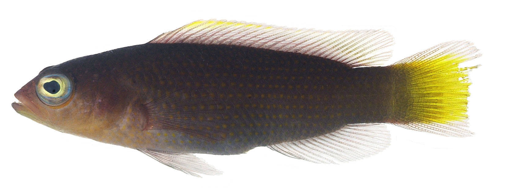 Image of Marshall Is. dottyback